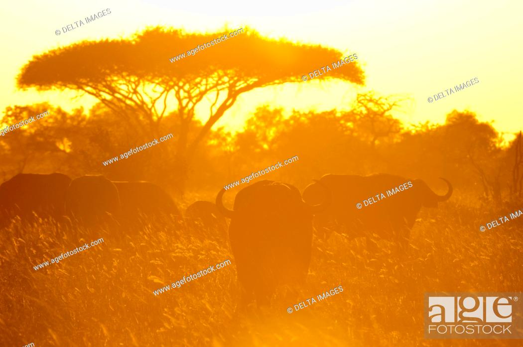 Stock Photo: African Buffalo (Syncerus caffer) at sunset, Lualenyi Game Reserve, Tsavo, Kenya.