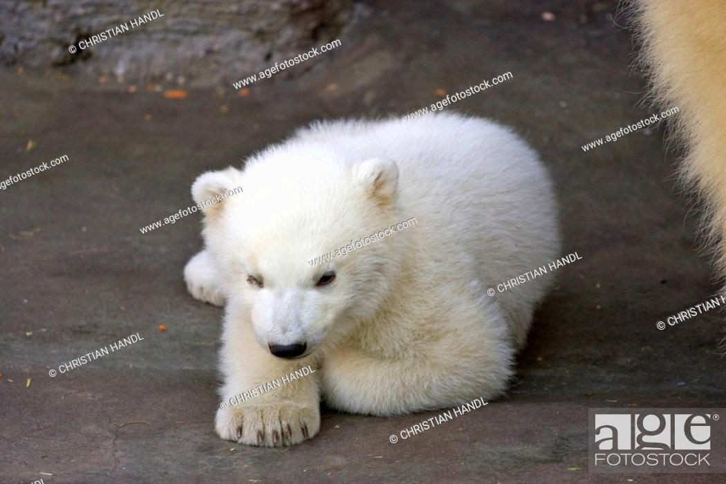 Polar Bear (Ursus maritimus) cub, one of two twins born