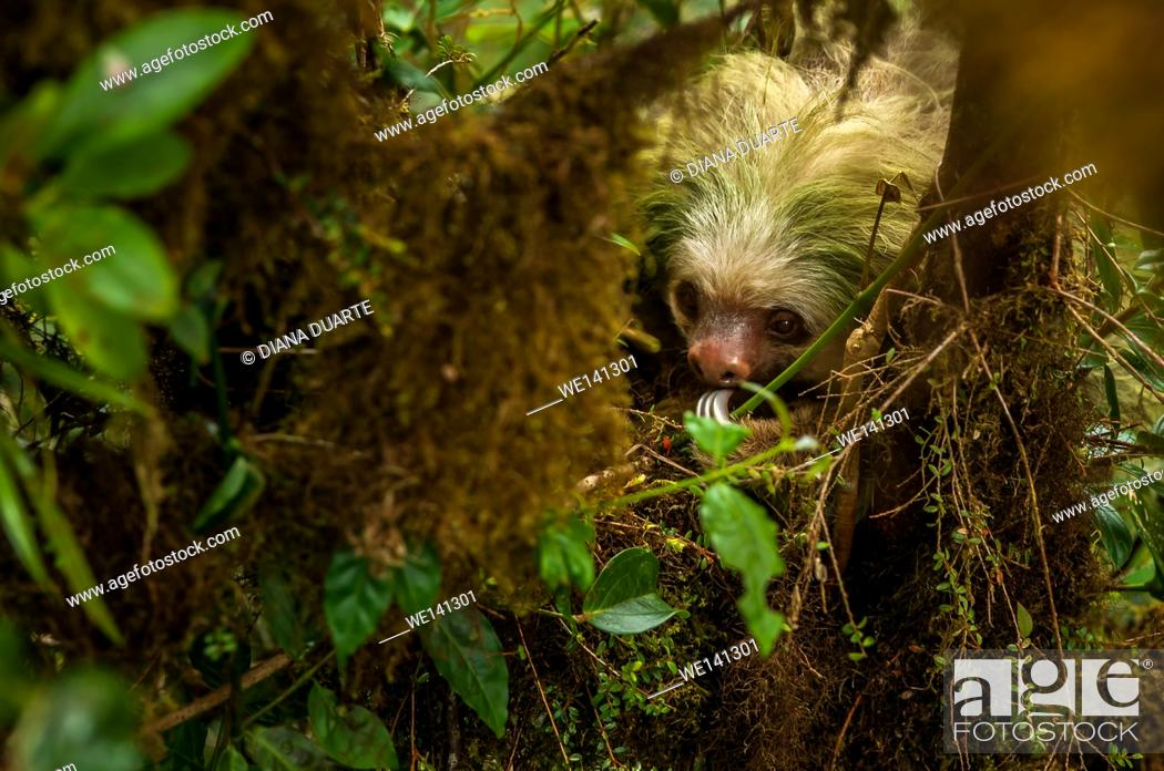 """Stock Photo: """"""""""""""""""""Pygmy three-toed sloth"""""""" (Bradypus pygmaeus), These markings are unique to each sloth like fingerprints are to humans and are therefore very useful for."""