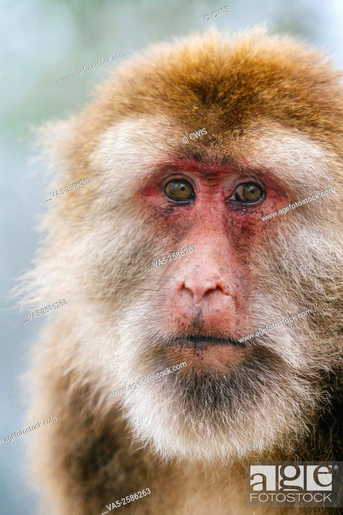 Stock Photo: Mt. Emei, Sichuan province, China - Close up of the cute macaque in the wild.