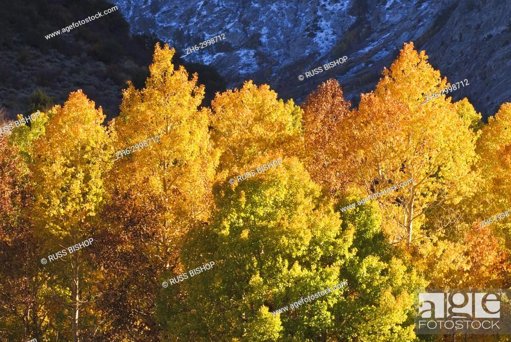 Imagen: Golden fall aspens along Rush Creek, Inyo National Forest, Sierra Nevada Mountains, California USA.