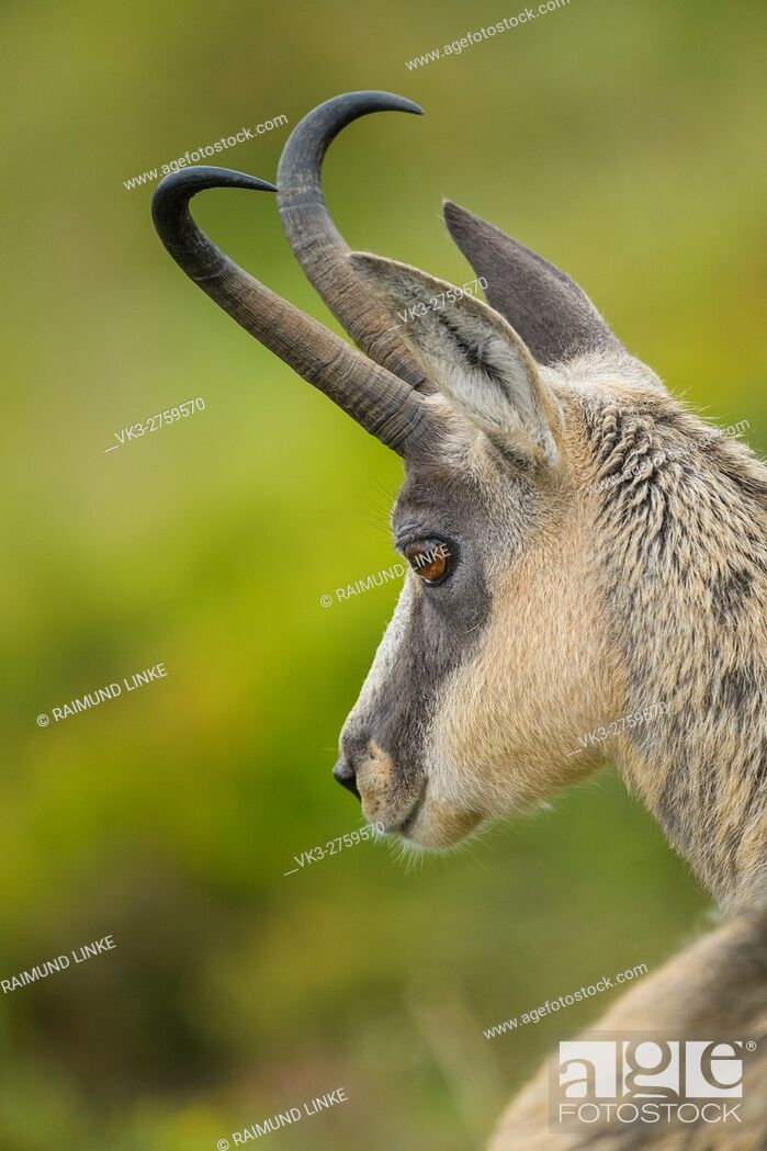 Photo de stock: Chamois, Rupicapra rupicapra, Portrait, France, Europe.