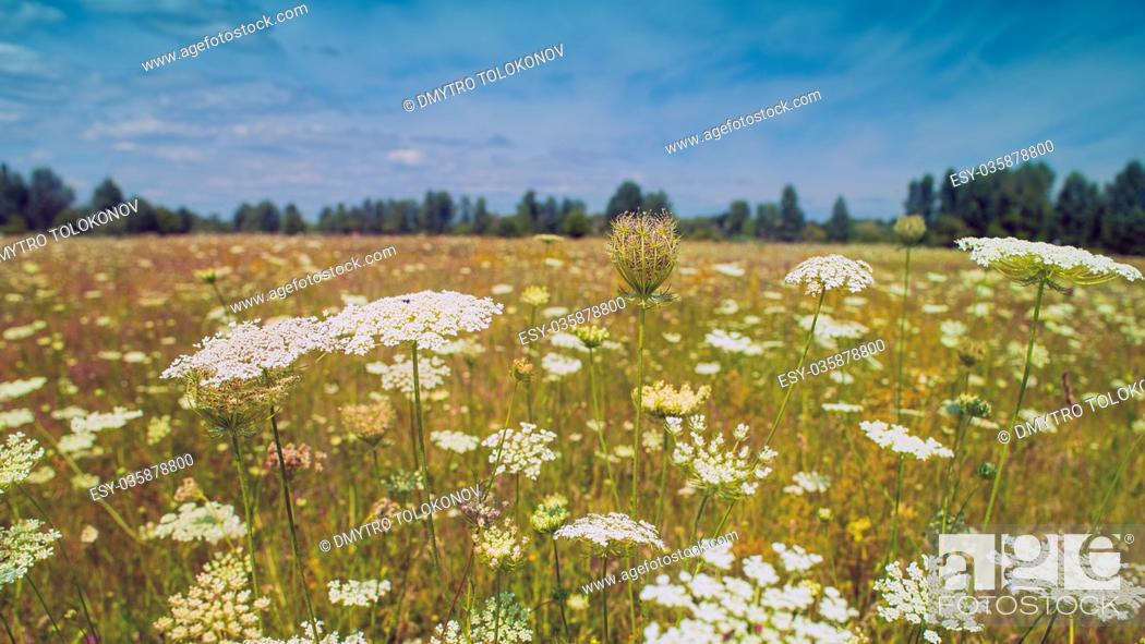 Stock Photo: Wilderness. Beauty wild summer field witn white flowers under blue skies.