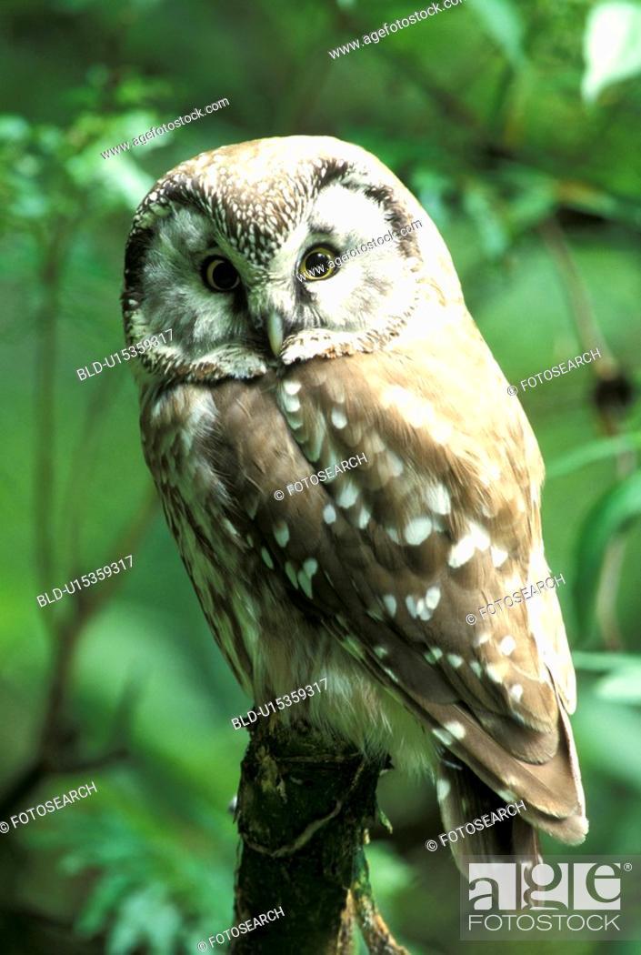 Stock Photo: federn, animals, athene, aves.