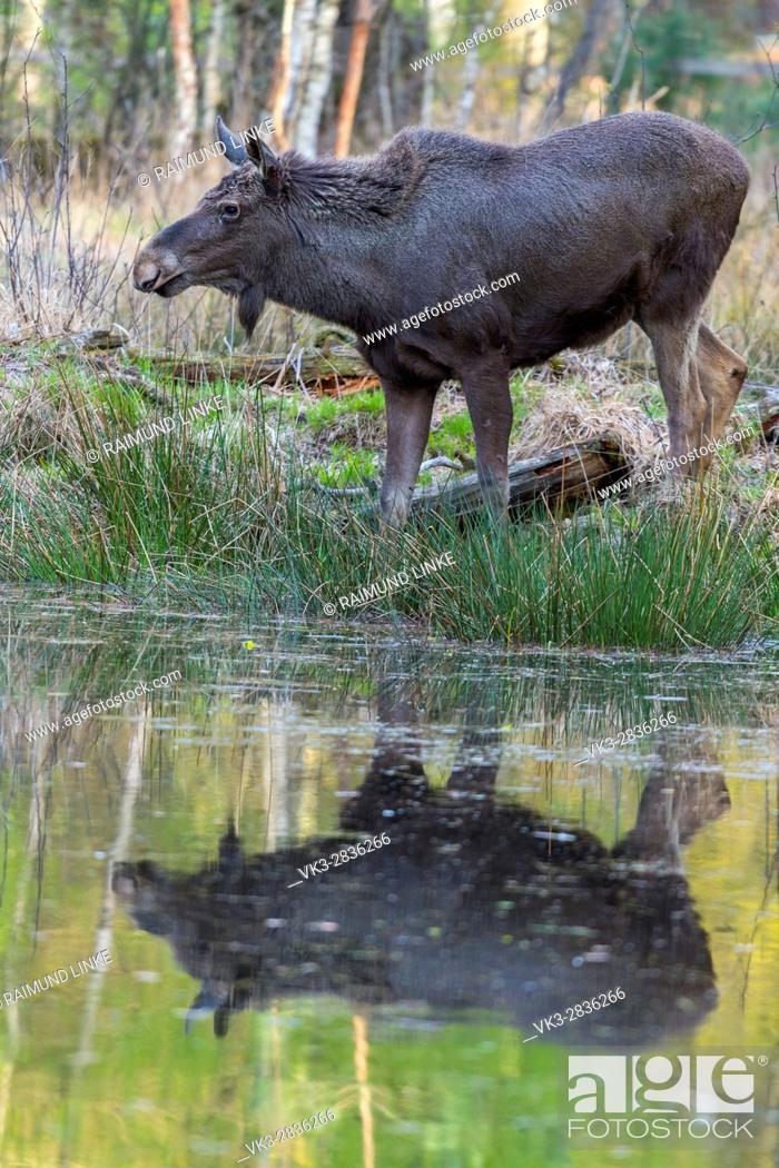 Stock Photo: Moose, Elk, Alces alces, Germany, Europe.