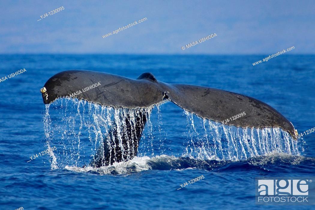 Stock Photo: humpback whale, Megaptera novaeangliae, fluke-up dive, Hawaii, USA, Pacific Ocean.