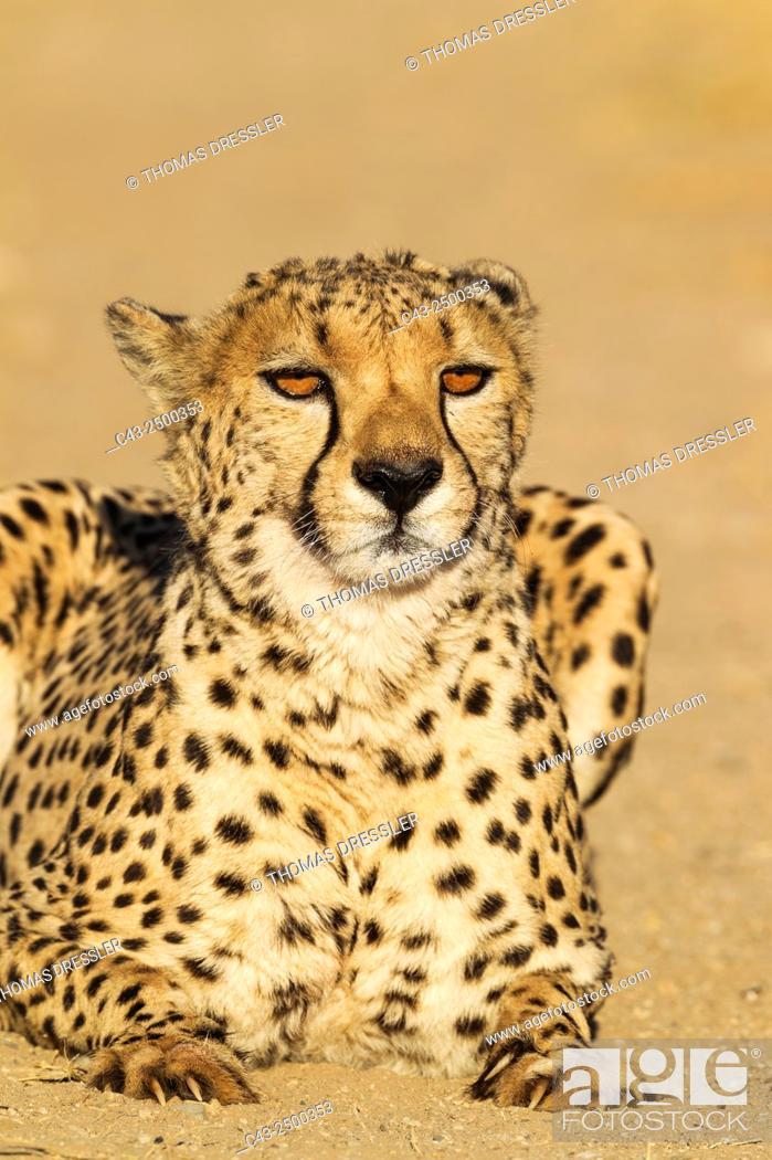 Stock Photo: Cheetah (Acinonyx jubatus) - Male. Photographed in captivity on a farm. Namibia.