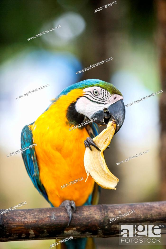 Stock Photo: Blue and yellow Macaw eating banana, Boracay, Philippines.