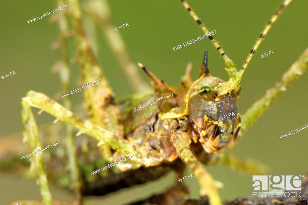 Stock Photo: Moss Katydid Campionica montana adult, close-up of head, Manu Road, Departemento Cusco, Andes, Peru.