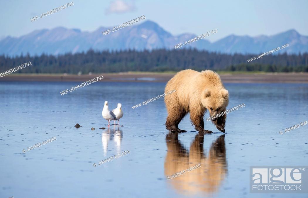 Stock Photo: Bear walking at coast.