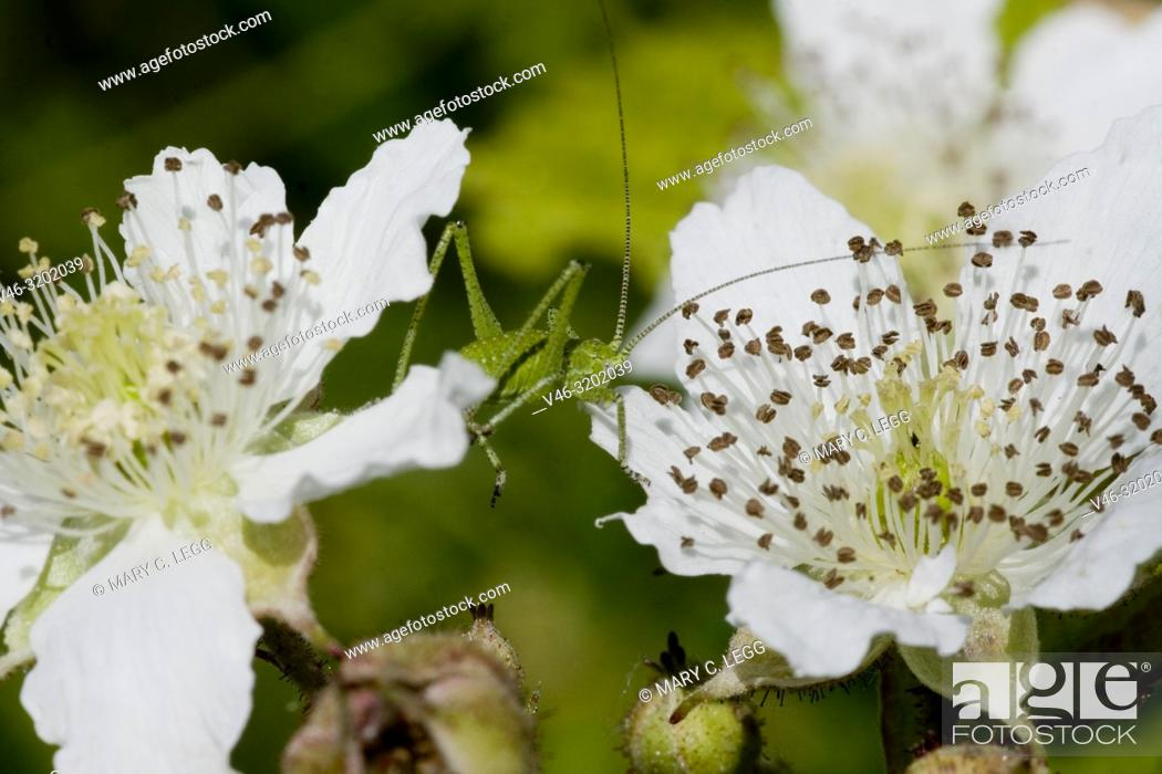 Stock Photo: Cricket, Leptophyes albovittata on blackberry bramble blossom. Leptophyes albovittata is geen, spiny cricket with lateral white stripes when mature.