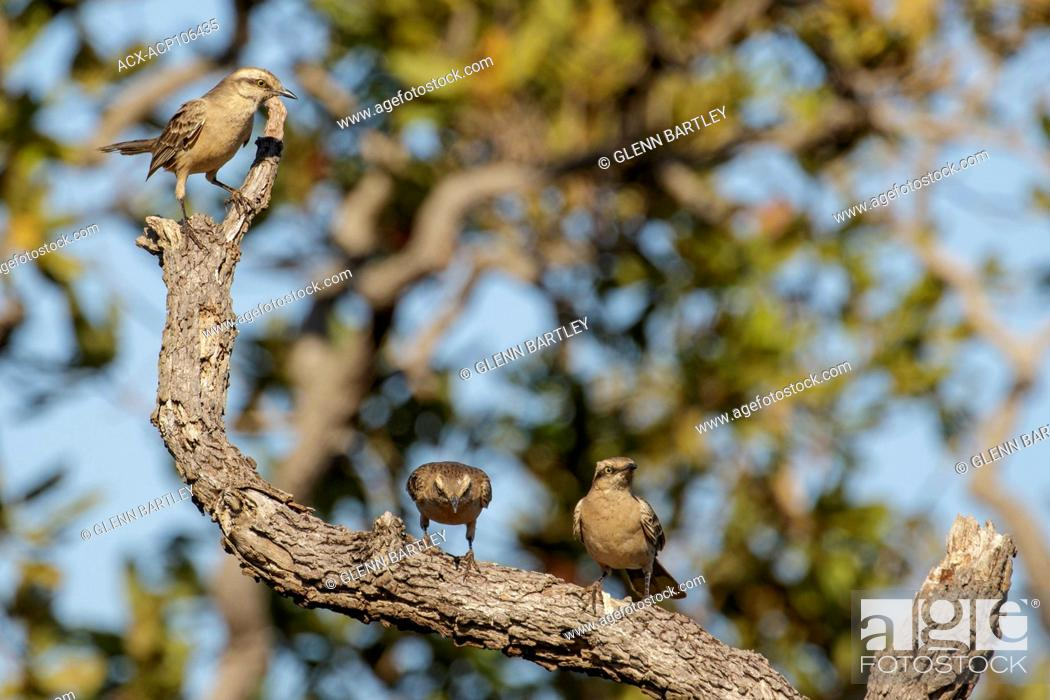 Stock Photo: Chalk-browed Mockingbird (Mimus saturninus) perched on a branch in the Pantanal region of Brazil.