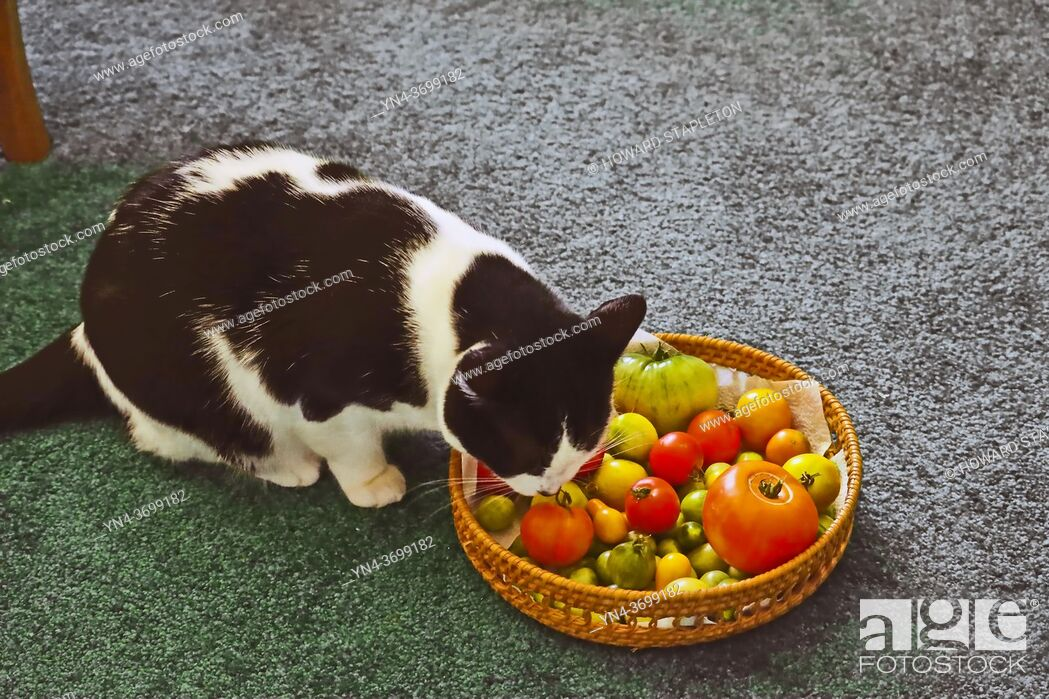 Stock Photo: Cat sniffing tomatoes.