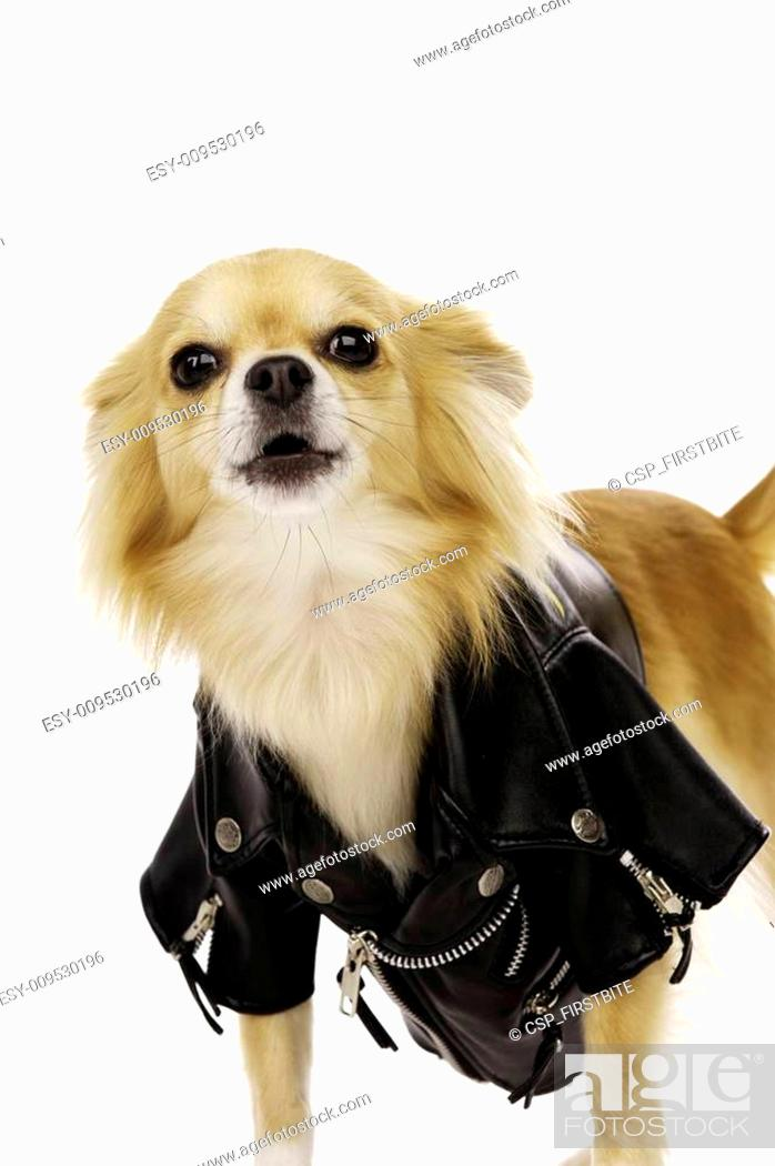 Stock Photo: Chihuahua Wearing a Black Leather Jacket.
