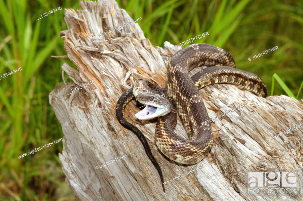 Texas Rat Snake (Elaphe obsoleta lindheimeri), adult male