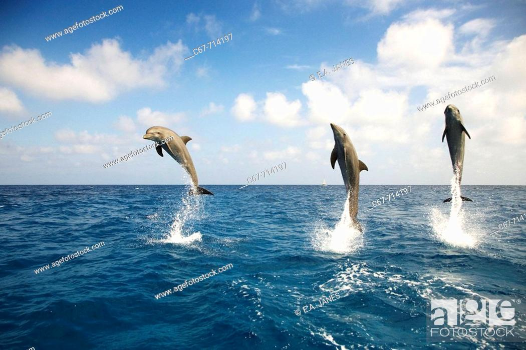 Stock Photo: Bottle-nosed Dolphin Tursiops truncatus.