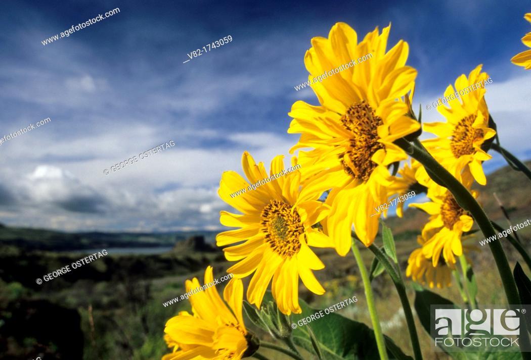 Stock Photo: Balsamroot Balsamorhiza, Columbia Hills State Park, Columbia River Gorge National Scenic Area, Washington.