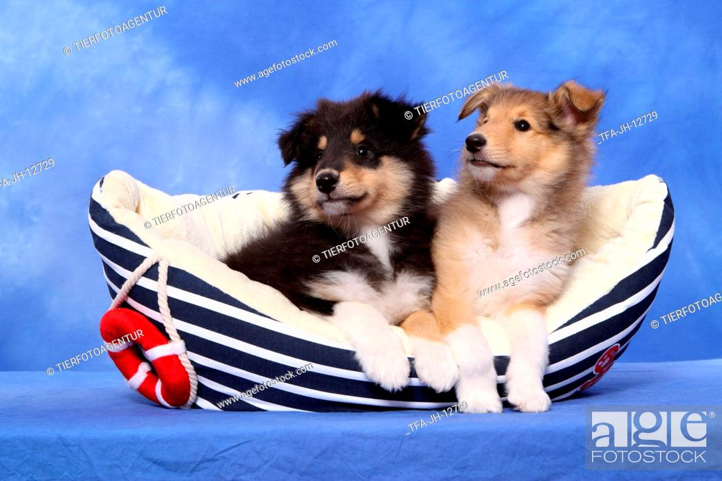 Stock Photo: longhaired collie puppies.