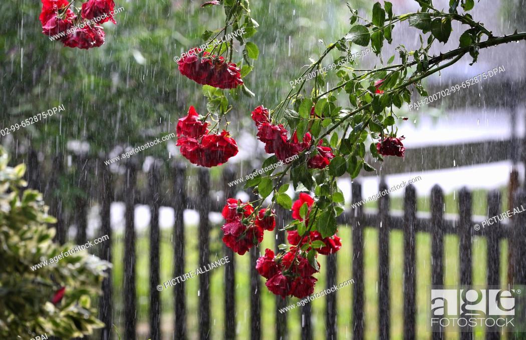 Stock Photo: 02 July 2020, Bavaria, Kaufbeuren: A rosebush bends under pouring rain. Photo: Karl-Josef Hildenbrand/dpa. - Kaufbeuren/Bavaria/Germany.