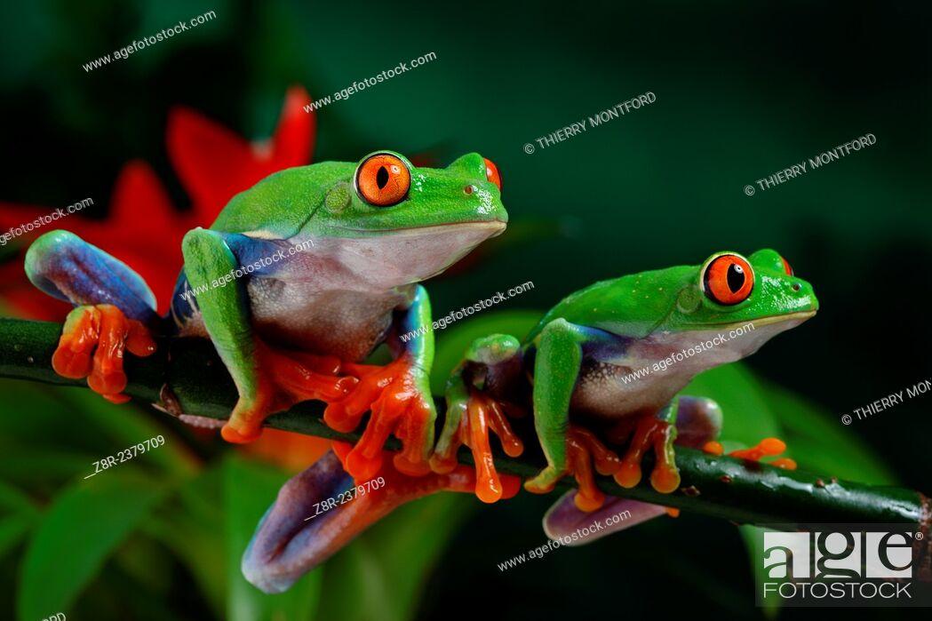 Stock Photo: Agalychnis callidryas. red eyed tree frogs. Costa Rica.