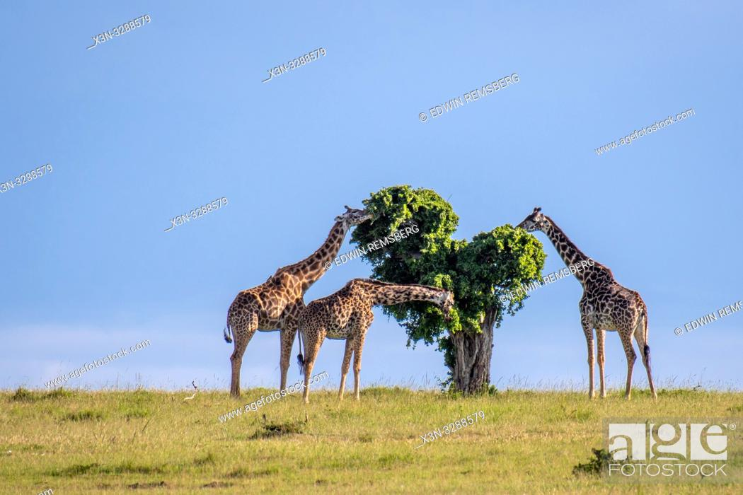 Stock Photo: Masai giraffes (Giraffa camelopardalis tippelskirchii) eat a tree in Maasai Mara National Reserve, Kenya.