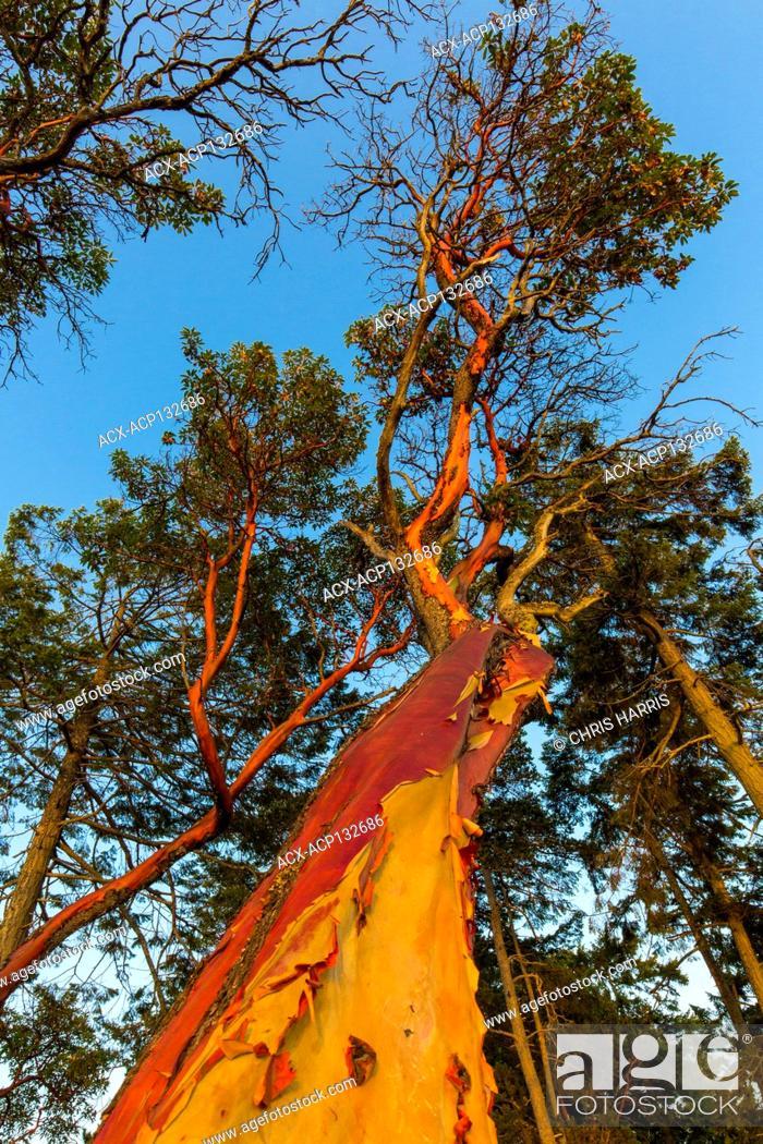 Imagen: Arbutus trees, Arbutus menziesii, Gabriola Island, British Columbia, Canada.