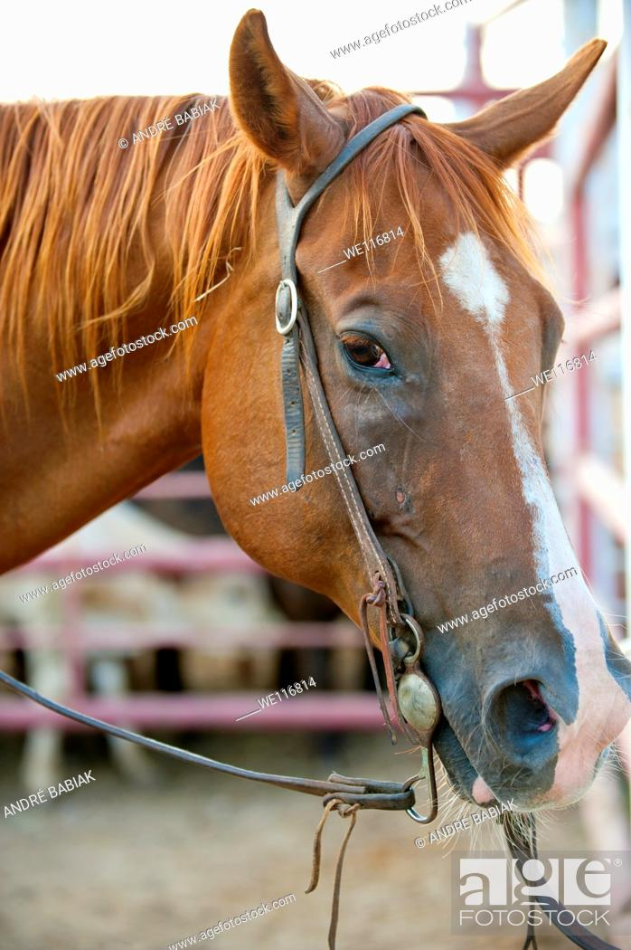 Stock Photo: Head of a quarterhorse with bridle and reins tied to a panel.
