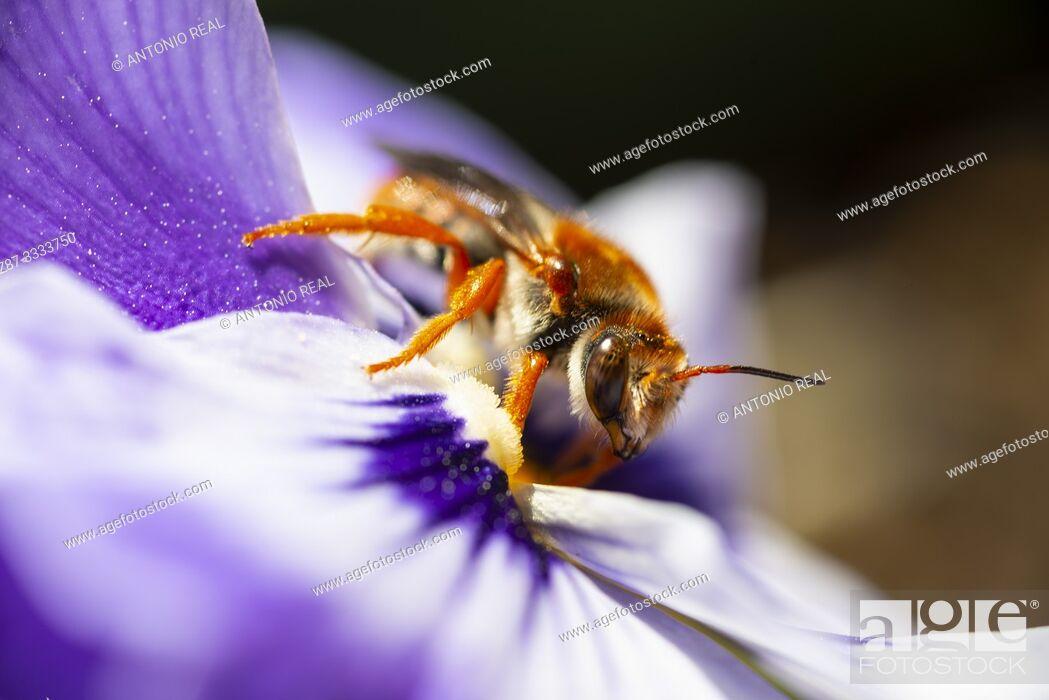Stock Photo: Close-up of bee on flower. Almansa. Albacete province, Castile-La Mancha, Spain.
