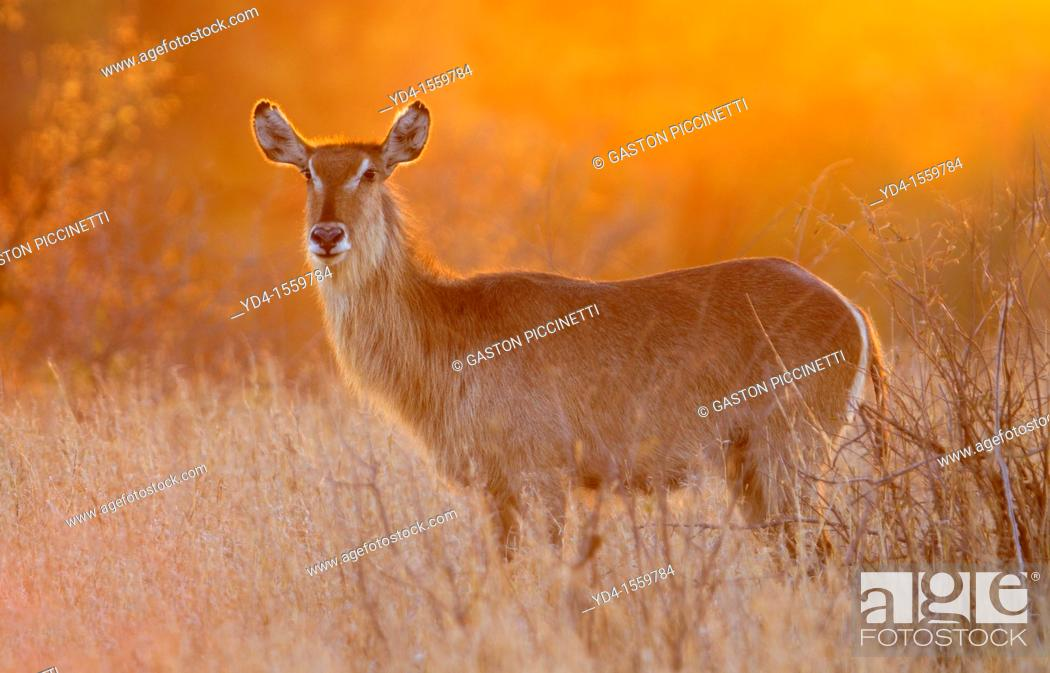 Stock Photo: Waterbuck Kobus ellipsiprymnus, at sunset, Kruger National Park, South Africa.