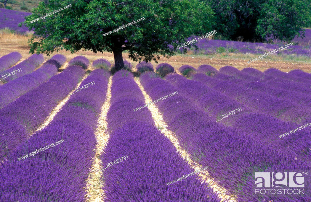 Stock Photo: Tree in Lavender field, Plateau de Vaucluse, Sault, Provence, France.