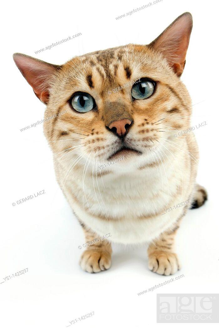 Stock Photo: SEAL MINK TABBY BENGAL DOMESTIC CAT.