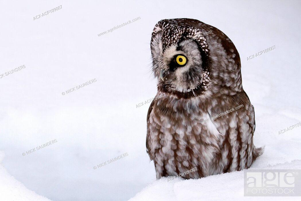 Stock Photo: A Boreal Owl, Aegolius funereus, sitting in the snow in Saskatoon, Saskatchewan, Canada.