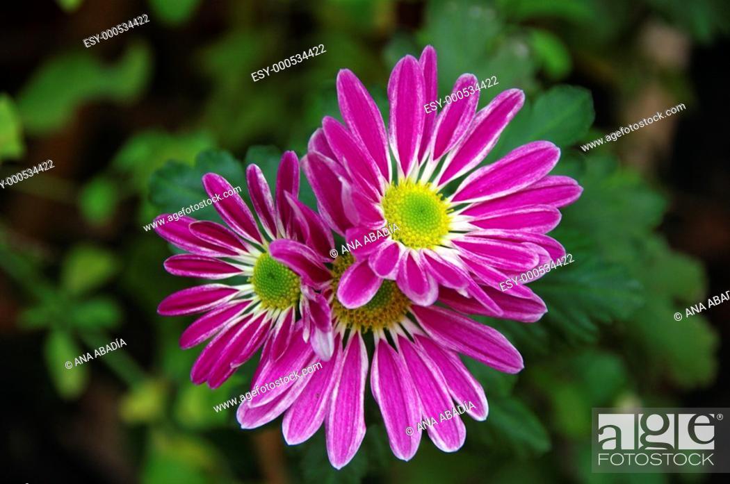 Stock Photo: fuchsia daisy.
