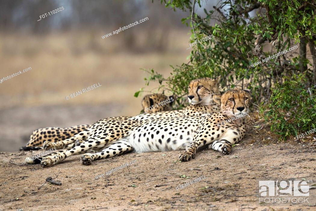Stock Photo: Three cheetahs lying side by side.