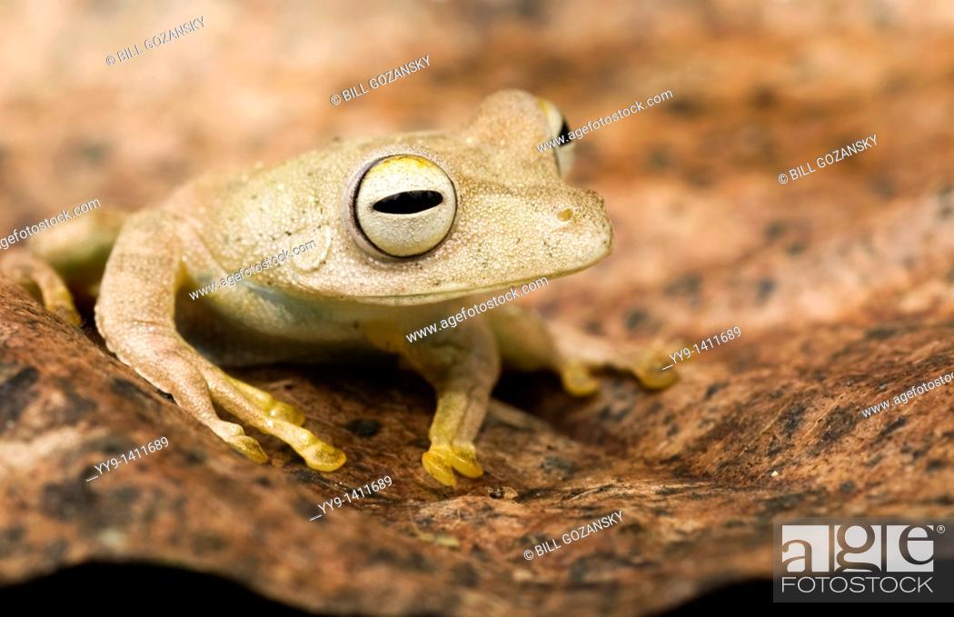 Stock Photo: Close-up of tree frog on leaf - Yasuni National Park, Napo Province, Ecuador.