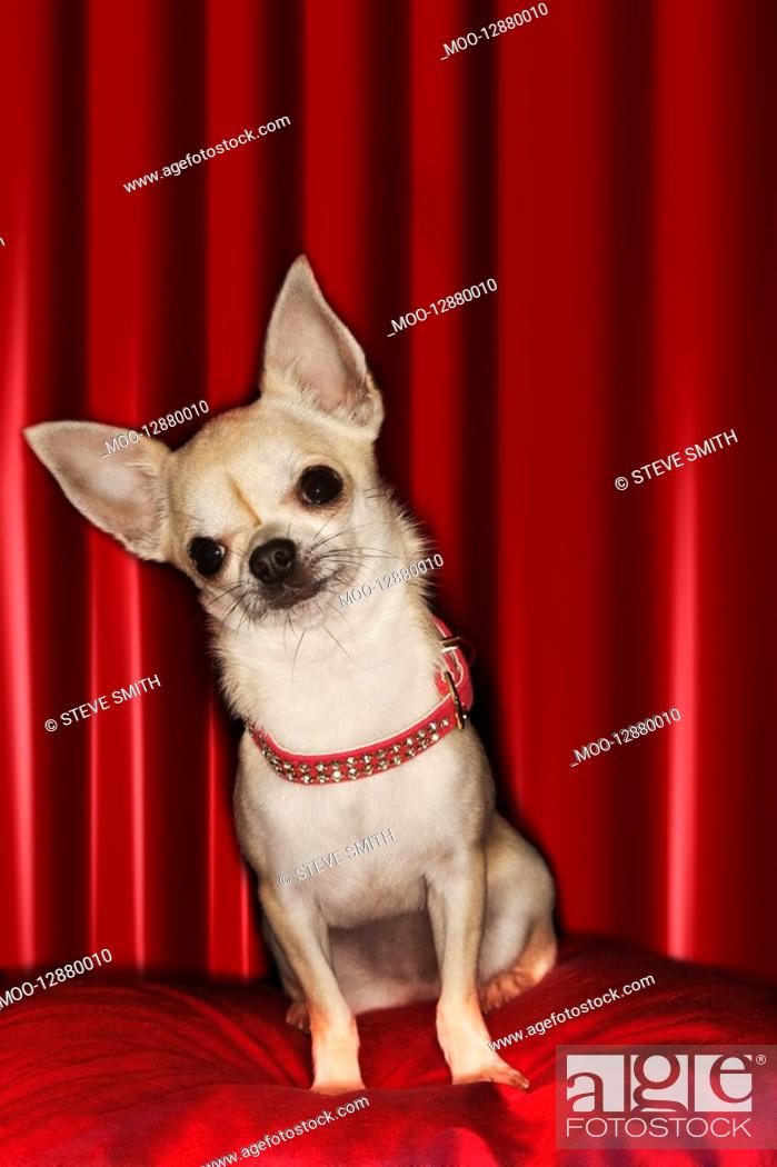 Photo de stock: Chihuahua sitting on red pillow.