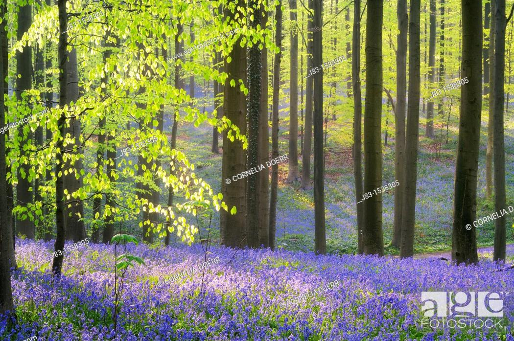 Stock Photo: A blooming carpet of Bluebells in beech forest, bluebells Hyacinthoides non-scripta and European beech trees Fagus sylvatica, Hallerbos, Belgium, Europe.