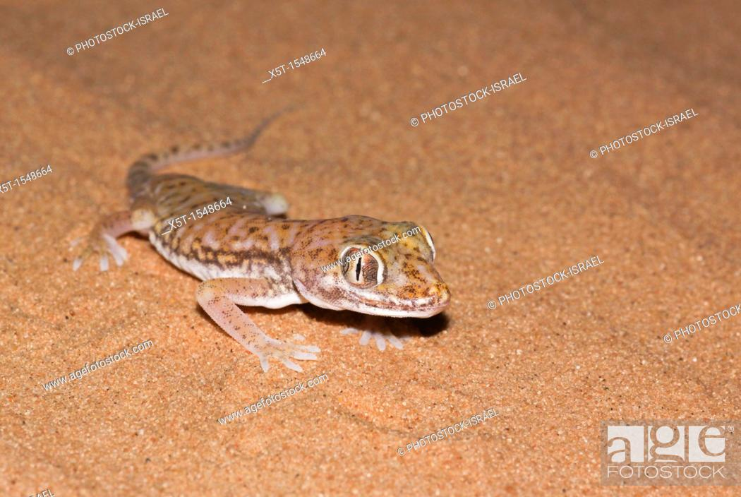 Photo de stock: The Stenodactylus petrii or dune gecko or 'frog-eyed' gecko  is a small, mostly nocturnal dwarf gecko of the genus Stenodactylus  They are found across northern.