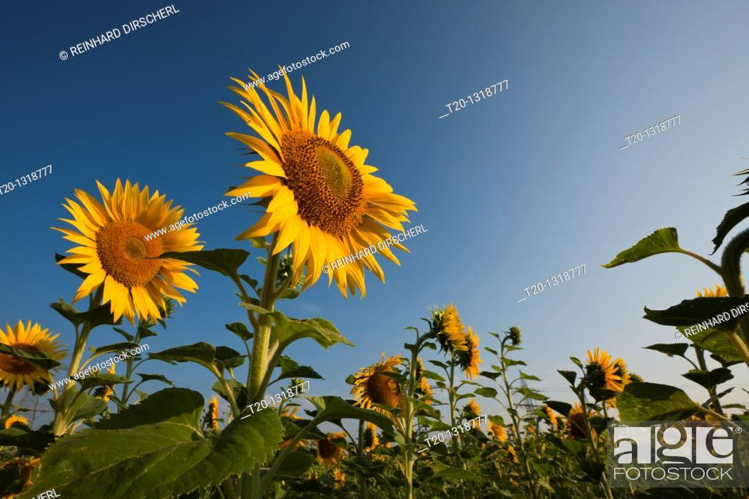 Stock Photo: Sunflowers, Helianthus annuus, Munich, Bavaria, Germany.