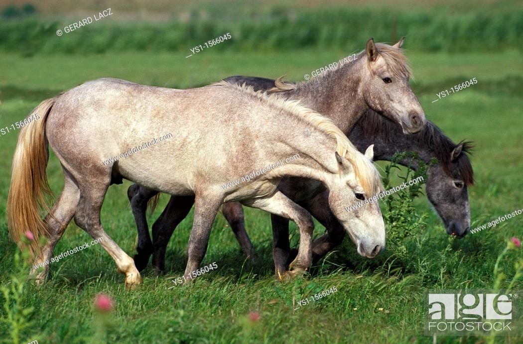 Stock Photo: Lusitano Horse, Herd standing in Meadow.