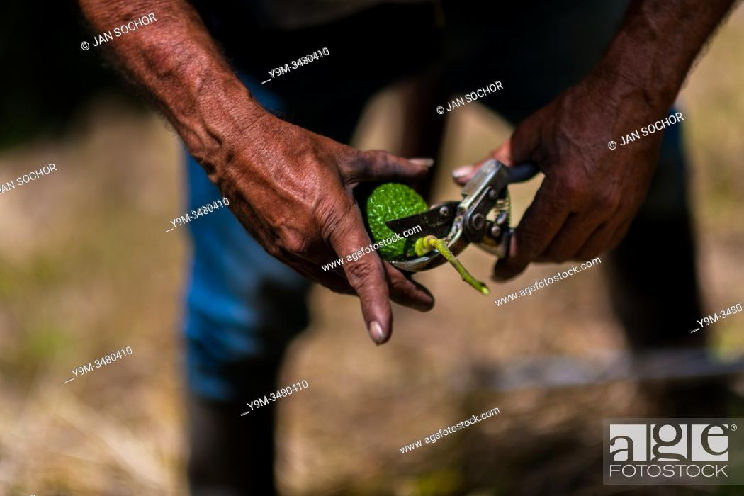 Stock Photo: A Colombian farm worker cuts off the stem of an avocado fruit at a plantation near Sonsón, Antioquia department, Colombia, 22 November 2019.