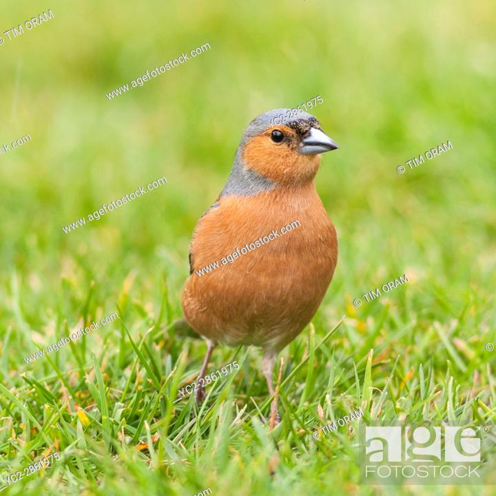 Stock Photo: A Male Chaffinch (Fringilla coelebs) in the uk.