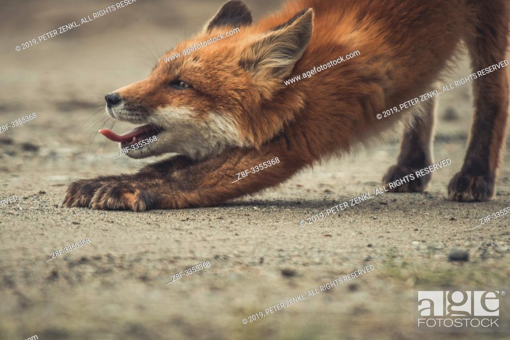 Stock Photo: A young red fox (Vulpus vulpus) stretches and yawns while he is exploring the world. Yukon Territory, Canada.