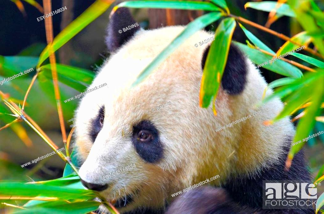 Stock Photo: Panda Bear eat a Tree Branch, China Wildlife. Bifengxia nature reserve, Sichuan Province.