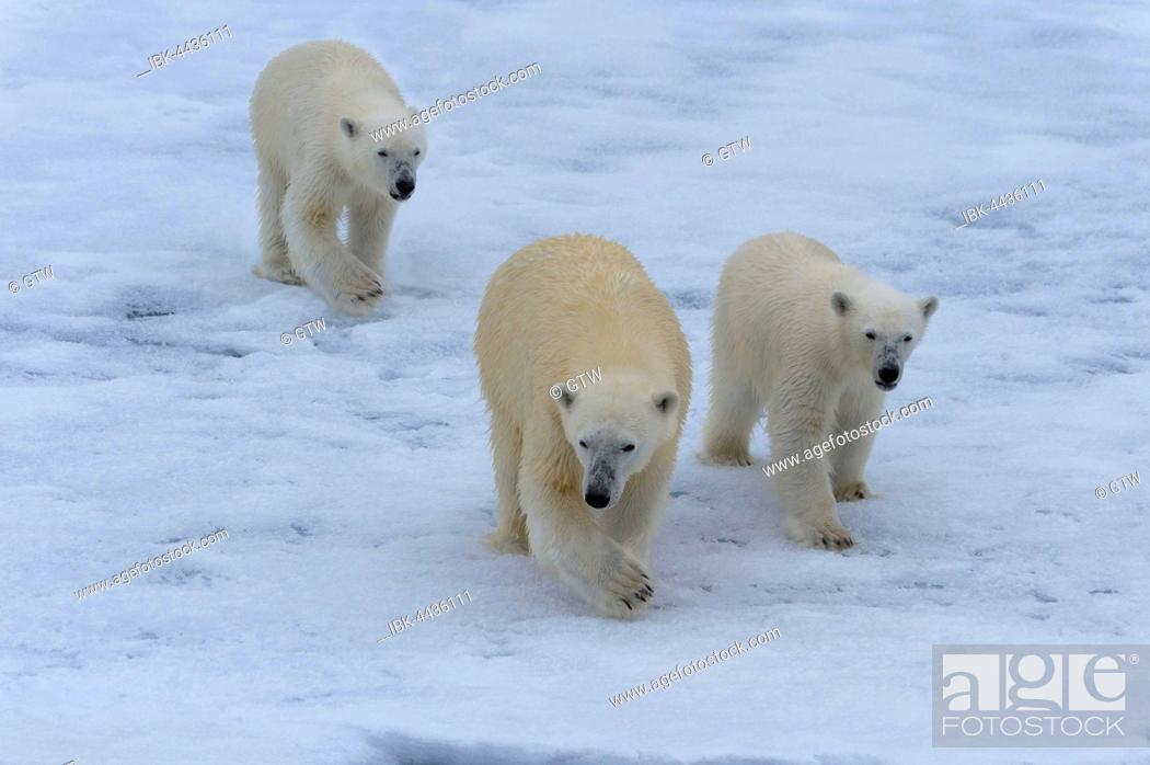 Photo de stock: Polar bears (Ursus maritimus), mother with two cubs on ice floe, Spitsbergen Island, Svalbard archipelago, Norway.