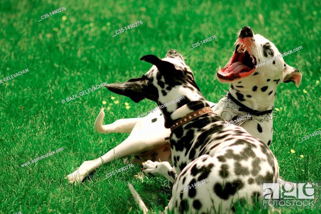 Stock Photo: dalmatian dog.
