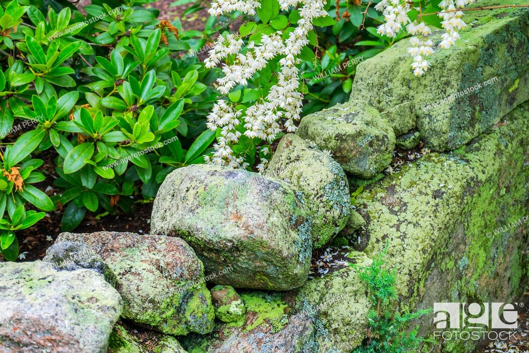 Stock Photo: Green Mossy Old Stone Wall White Flowers New England Padnaram Dartmouth Massachusetts. Stone walls were built in the early 1600s and 1700s in New England torop.