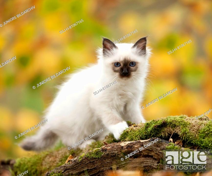 Stock Photo: Sacred Birman. Kitten standing on a mossy log. Germany.