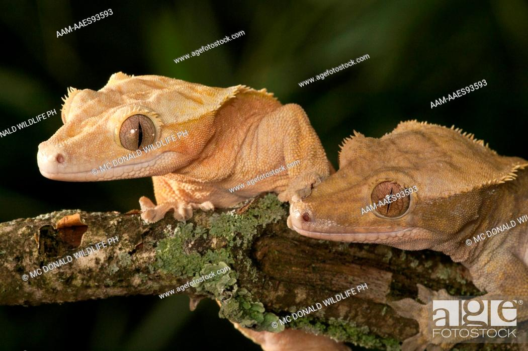 Crested Gecko Rhacodactylus Ciliatus New Caledonia South Pacific