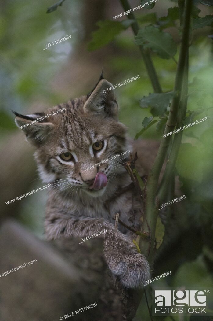 Stock Photo: Eurasian Lynx ( Lynx lynx ), cute young, lies hidden in a tree, looks funny, licking its tongue.